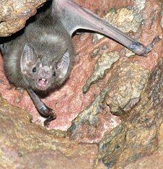 Vampiro (Desmodus rotundus)