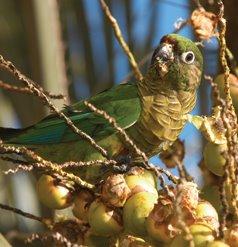 Chiripepe (Pyrrhura frontalis)