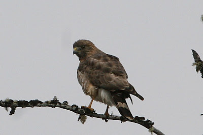 nature tales and camera trails: Broad-winged Hawk