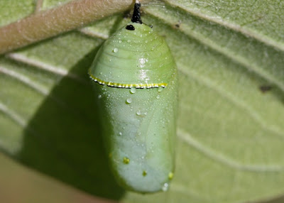 Monarch-Butterfly-Cocoons-Monarch