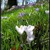 święto krokusa   (Planten un Blomen Hamburg)