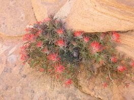 Wild Flower @ Zion NP