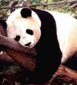 foto de oso panda tierno durmiendo en el bosque de bambú en China