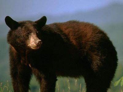oso pardo: lindo y gruñon