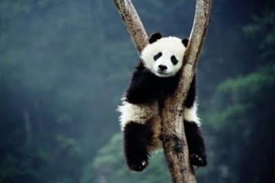 osito panda dormido