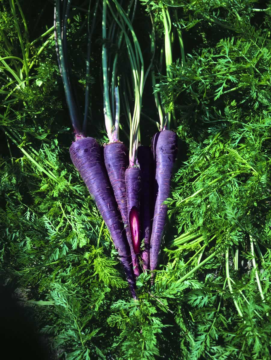 http://2.bp.blogspot.com/_xfAtG8xkT0w/SxKiQePE5XI/AAAAAAAAEPU/aqPpwDwRxRU/s1600/carrot_purplehaze.jpg
