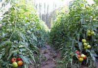 toprak, domates, domates yetiştiriciliği, toprak istekleri, yetiştirme