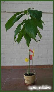 planta de palta o aguacate