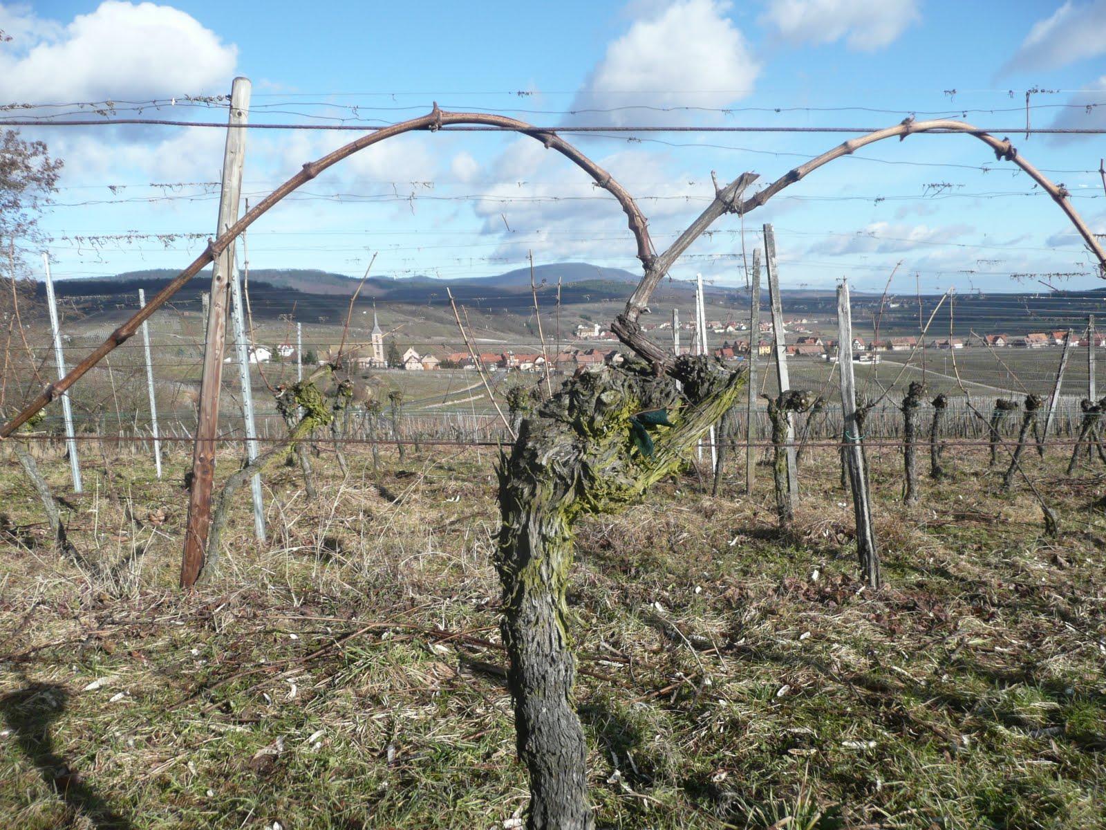Les vins d 39 alsace florian yvette et michel beck hartweg - Quand tailler une vigne ...