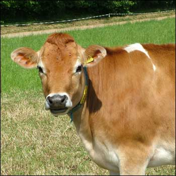 images of domestic animals cow - photo #21