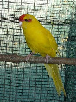Kakarike amarelo