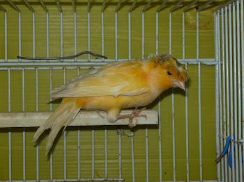 Canários amarelos com e sem popa