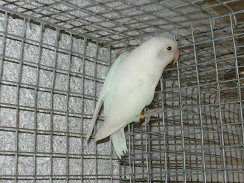 Agapornis Fisher branco