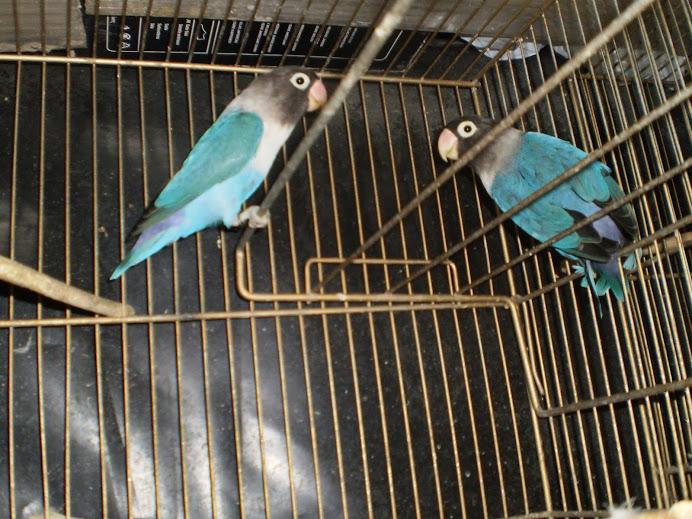 personatas azules