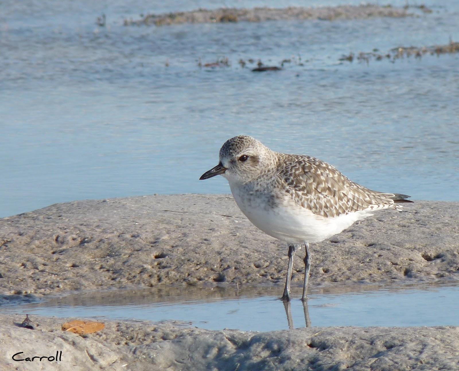 List Of Beach Birds At Marco Island Florida