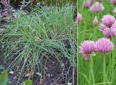 Erba cipollina e porro selvatico for Aglio pianta