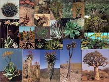 Existen más de 400 especies de Aloe