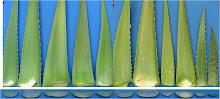 Variabilidad foliar en las líneas experimentales