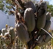 Frutos tipo cápsulas