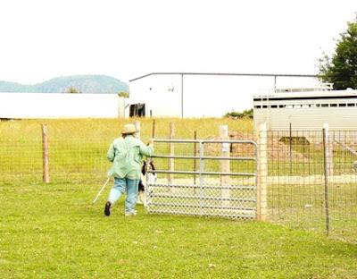 asca and ckc sheep herding