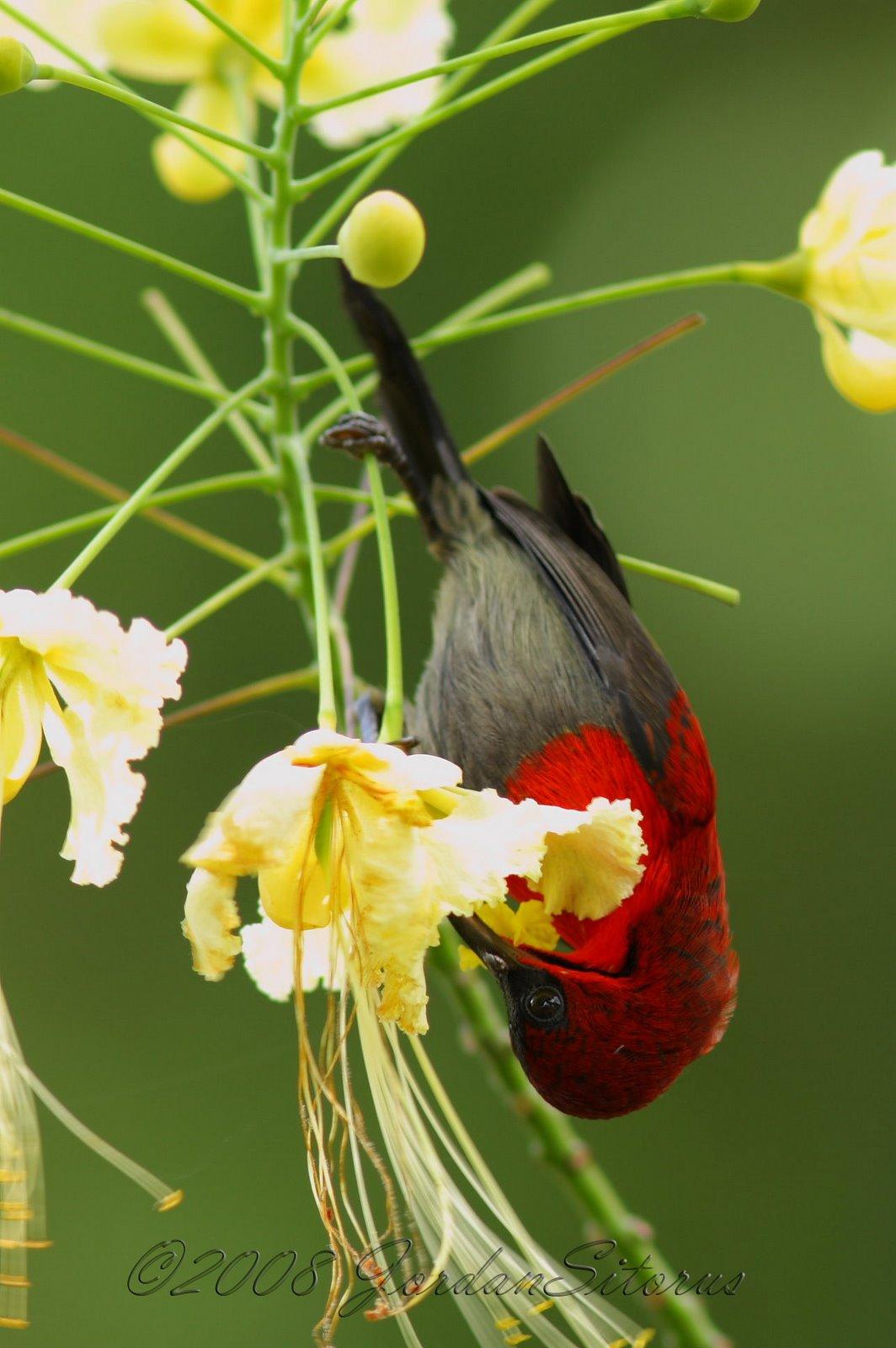 [Crimson+Sunbird+(Aethopyga+siparaja).jpg]