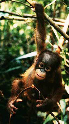 orangutan cute photo hanging around in the forest