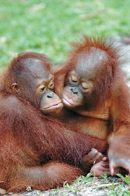 two cute orangutan photo of babies hugging
