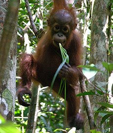 orangutan pictures hanging in the jungle and eating cutie