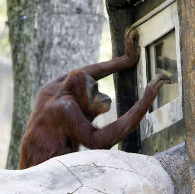 tap orangutan wants to be let in funny photo