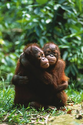 two young orangutans hugging in forest pic