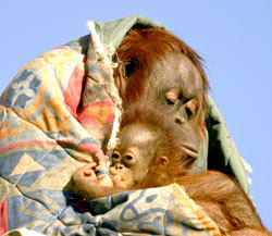 cute pic of orangutan mother hugging baby in blanket