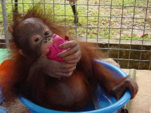 really funny orangutan photo baby in a bucket