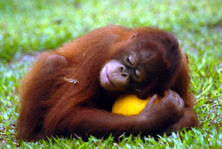 cute orangutan photo hugging ball
