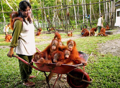 six really cute orangutans being carried in a barrow