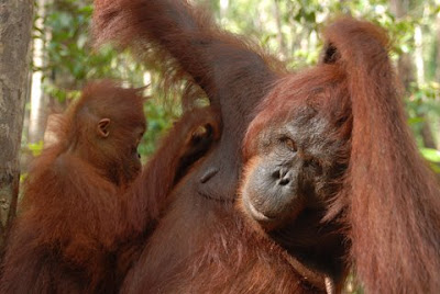 funny photo of young orangutan scratching its mother