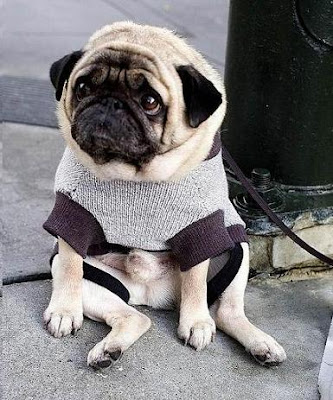 sitting pug in a sweater