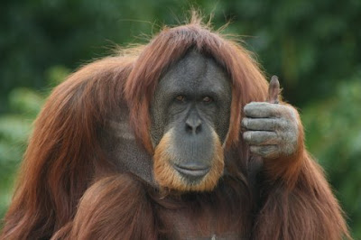 orangutan pics thumbs up older guy
