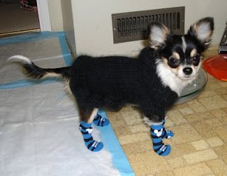 cute chihuahua dog in socks