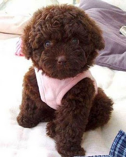 fluffy teddy bear cute puppy dog