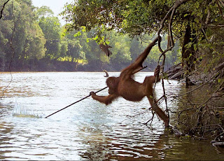 funny orangutan photo spear fishing in river and swinging