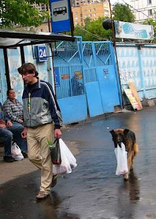 funny alsatian dog carrying shopping for owner pic