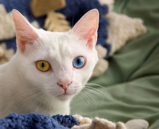 yellow and blue eyes cat photo
