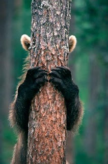 funny photo of bear hiding behind tree peek a boo