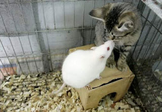 funny animal photos rat and cat friends in cage odd