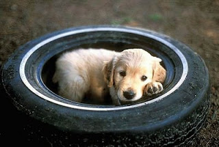 retriever cute dog in tyre photo dog tyred