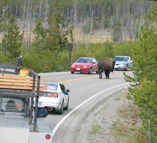 crazy funny photo moose traffic jam holding up cars but walking on right side of road
