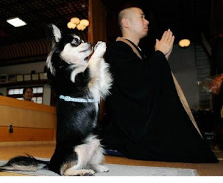 cute puppy dog praying in a temple wiht a monk photo funny