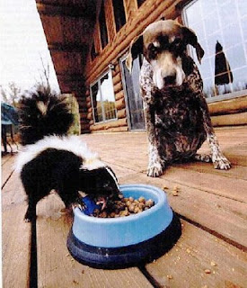funny skunk photo eating from a dog bowl while the dog watches on closely not daring to approach