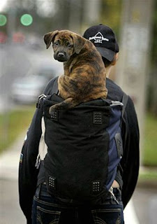 funny dog photos puppy sitting on top or inside a backpack while walking good balance