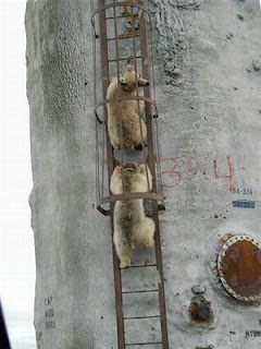funny bear photos climbing ladder to nowhere in particular